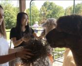 Local farm celebrates National Alpaca Farm Days