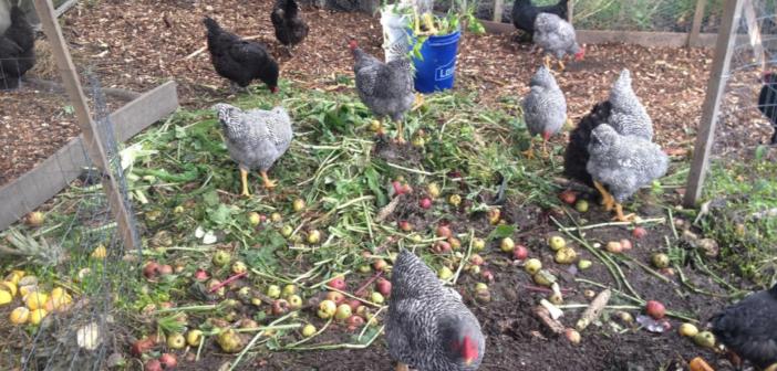 Sustainability of Raising Chickens